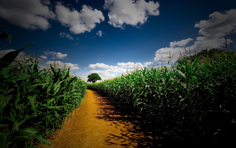 field_corn_21